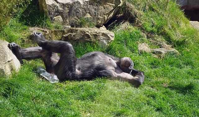 chimpanzee-751238_640